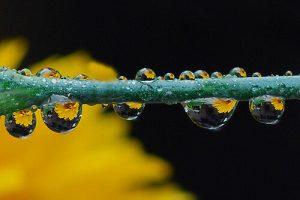 Magnified image of dew on a dandelion stem